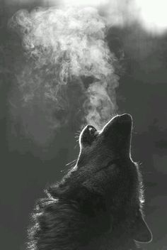 Funny pictures about Wolf howling in the cold. Oh, and cool pics about Wolf howling in the cold. Also, Wolf howling in the cold photos. Beautiful Creatures, Animals Beautiful, Cute Animals, Wild Animals, Nature Animals, Beautiful Wolves, Baby Animals, Simply Beautiful, Funny Animals