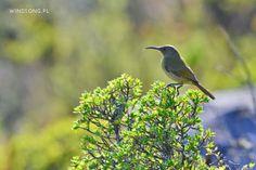 Table Mountain Sunbird.