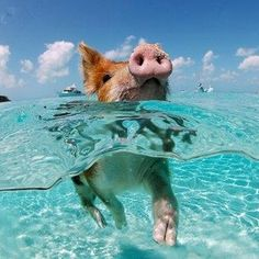 There S A Secret Island Where Unexpected Animals Swim With Humans And You Must Go Now Swimming Pigs Piglets In Exuma Bahamas