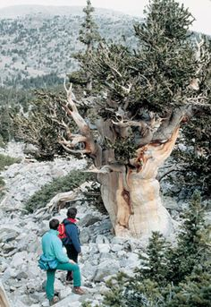 pinon mature singles The piñon ips bark beetle az1394 revised 03/13 tom degomez and bob celaya within the woodlands of 4,500' to 7,000' elevations in the southwest, piñon pine occurs in association with juniper.