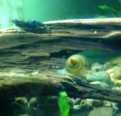Japanese trapdoor snail and neocaridina shrimp on driftwood. These snails are great for aquariums and ponds. They do not breed like most freshwater snails. Japanese trapdoor snails give live birth. They also have far fewer babies each time and reproduce less often. They are also great for ponds and outdoor water features.