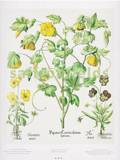 Botanical Bookplate, Yellow Flower, Mexican Poppy, Pansy, 2-Sided, 9x7 Flowers To Frame