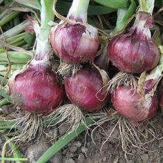 Grass Seed, Wheat Grass, Growing Onions From Seed, Planting Onions, Organic Seeds, Grow Your Own Food, Allium, Garden Seeds, Vegetable Garden
