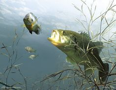Feeding Largemouth Bass 3D Lenticular Art Print : Wild Wings