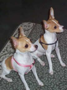 How can Juni NOT have Toy Fox Terrier blood in her???