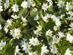 Lewisiopsis Tweedyi var.Alba