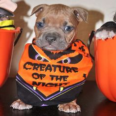 pics of pitbulls | ... - Bully Pitbulls | Fun Pictures of Our Pitbull Dogs and Puppies