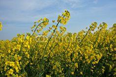 Fiori gialli soffiati dal vento
