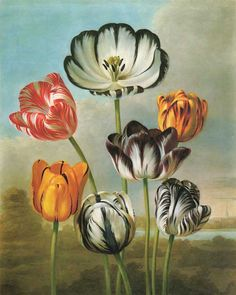 Picturing Plants and Flowers: Earlom and Reinagle: Tulips
