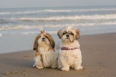 Eliminate Over 30+ Common Behavioral Shih Tzu Issues - shih tzu #shihtzu #shihtzucorner