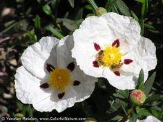 cistus ladanifer (rock rose), scent: sweet, balsamic