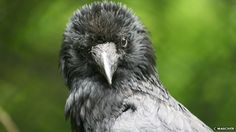 Crows recognise familiar human voices and the calls of familiar birds from other species, say researchers.