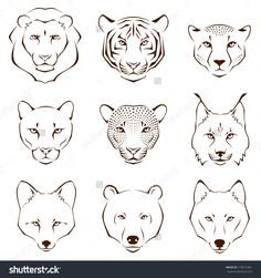 Set Of Simple Line Illustrations Showing Different Facial Features Of Wild Animals - Lion, Tiger, Cheetah, Cougar, Leopard, Lynx, Fox, Bear And Wolf - 119511961 : Shutterstock