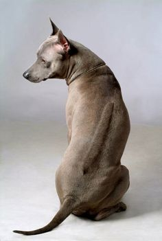 Thai Ridgeback - An old breed which can be seen in archeological writing in Thailand which were written about 350 years ago. Mainly in the eastern part of Thailand, it was used for hunting. People also used it to escort their carts and as a watch dog. http://www.akc.org/breeds/thai_ridgeback/history.cfm
