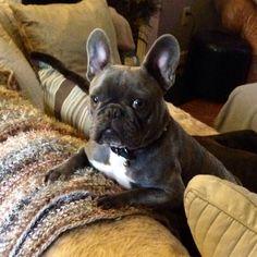 Briggs, the handsome Blue French Bulldog