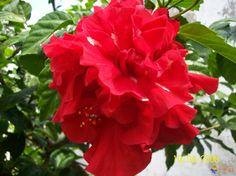 hibiscus   Photo : Hibiscus double