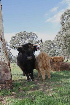 Scottish Highland Cattle in NSW Australia at Ennerdale Highlands www.ennerdalehighlands.com