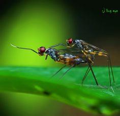 Taeniapterinae - Thailand  season of love  by bug eye :), via 500px