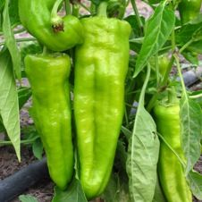 Como sembrar Pimiento de Cocinar en mi huerto « Huerto Las Monjas y Buena Vista Hato Rey Green Life, Go Green, Herb Garden, Vegetable Garden, Mouth Watering Food, Edible Garden, Stuffed Green Peppers, Beautiful Gardens, Organic Gardening