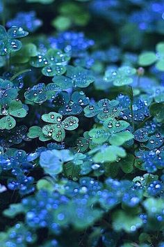 """The blue-green clover in this photo is absolutely beautiful. If there were a clover this color, I'd want it everywhere. But, I'm not convinced that the color is entirely natural or if it has been """"enhanced. Dew Drops, Jolie Photo, Shades Of Green, 50 Shades, Beautiful World, Beautiful Dream, Beautiful Things, Green Colors, Blue Green"""