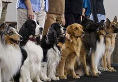 Row of dogs lined up at an obedience class