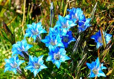 https://flic.kr/p/8ikATf | Gentiana sino-ornata, on the Tibetan Plateau | Like to see the pictures as Large as your screen? Than why not click on the Slideshow :  www.flickr.com/photos/reurinkjan/sets/72157622436074363/s...   This is a ground hugging perennial plant from Tibet and Sikkim, where it grows in wet ground - the flowers exhibiting a range of colour from royal blue to purple-blue and interspersed with greenish-yellow bands. Tibetan plateau Gentians die back each winter to fleshy…