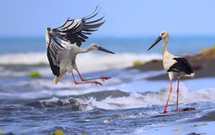Oriental Stork-東方白鸛 by Dajan Chiou on 500px