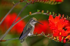 Anna's Hummingbird On Vine