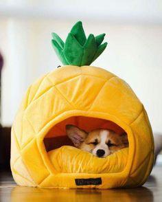 corgi in a pineapple - Animales y mascotas - Chien Cute Baby Animals, Animals And Pets, Funny Animals, Cute Puppies, Cute Dogs, Diy Dog Bed, Corgi Dog, Mini Corgi, Dog Mom