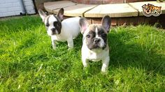 Pied Fawn French Bulldog Puppies, too cute!!