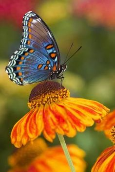 Photographic Print: Red-Spotted Purple Butterfly by Darrell Gulin : 24x16in