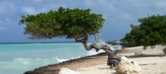 divi-divi tree in the caribbean Central America, South America, Spooky Trees, Tree Forest, Perennials, Caribbean, Image Search, Nature, Mexico