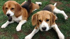Beagle puppies dogs animals twins cute HD Wallpaper