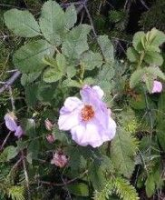 Rosa blanda | Meadow Rose is either a deciduous plant which means it loses its leaves in Autumn or Fall or it can be classed as an evergreen but only for warmer climates (maintains leaves all year round). Beware using trees that lose their leaves around fish ponds.