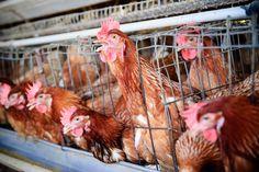 Segundo o Mc Donald's, a nova política da empresa vai fazer com que quase oito milhões de animais sejam poupados de viver dentro de gaiolas superlotadas a cada ano.