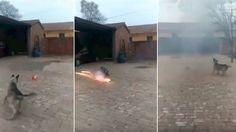 Dueño inconsciente permite a su perro jugar con fuegos artificiales: #china #fuegosartificiales #perro #perros #dog #dogs #viral #video #videos #pet #pets #mascotas #mascota #veterinario #maltratoanimal #noticia #noticias #schnauzi