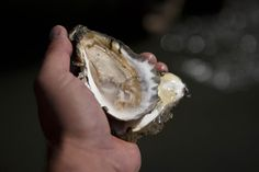 Helping to Save the Bay, One Oyster at a Time