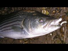 Striped Bass Fishing Tips - Bucktails in Fast Water - YouTube