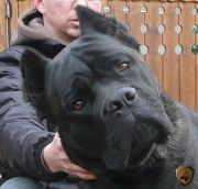Cane Corso Dogs - wolf/dog u. Cane Corso Italian Mastiff, Cane Corso Mastiff, Cane Corso Dog, Mastiff Dogs, Big Dogs, Cute Dogs, Dogs And Puppies, Large Dogs, Doggies