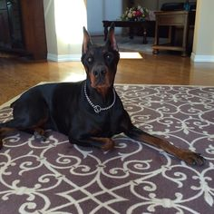 Doberman Pinscher Dog, Doberman Love, Dog Cat, Best Friends, Cute Animals, Dogs, Chelsea, Strong, Dreams