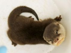 Asian Small-clawed Otters are the world's smallest Otter species. Their specially designed front paws help them capture and devour their favorite aquatic treats, like Crabs and Molluscs. They are listed as vulnerable to extinction, because of threats like pollution, habitat destruction, and hunting.