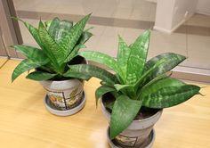 Tietoja kasvista Anopinhammas, Sansevieria trifasciata 'Hahnii', svärmors bandrosett.