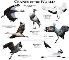 Cranes of the World by rogerdhall on DeviantArt