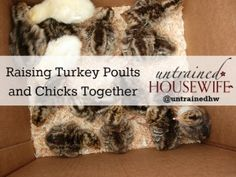 Raising Turkeys and Chickens together