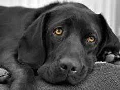 """Résultat de recherche d'images pour """"labrador noir"""""""