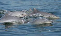 BONDE DA BARDOT: RJ: MP sugere cadastro de pescadores para combater morte de botos-cinza
