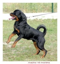 Beautiful rottie with a tail <3