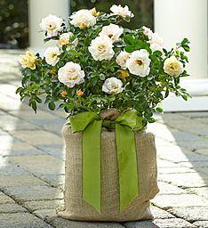 Forever Bloom Popcorn Rose Plant