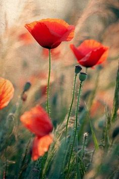 Poppies remind me of my grandmother :)