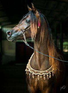 Naif Rayyan - What an incredibly beautiful animal!  He takes my breath away.